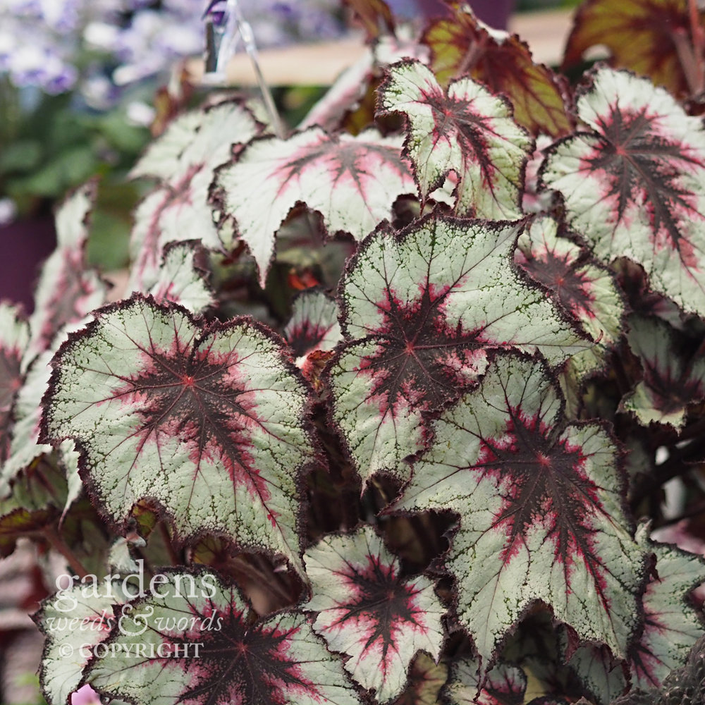 Rex begonias on the Dibleys stand at the RHS Chelsea Flower Show 2018