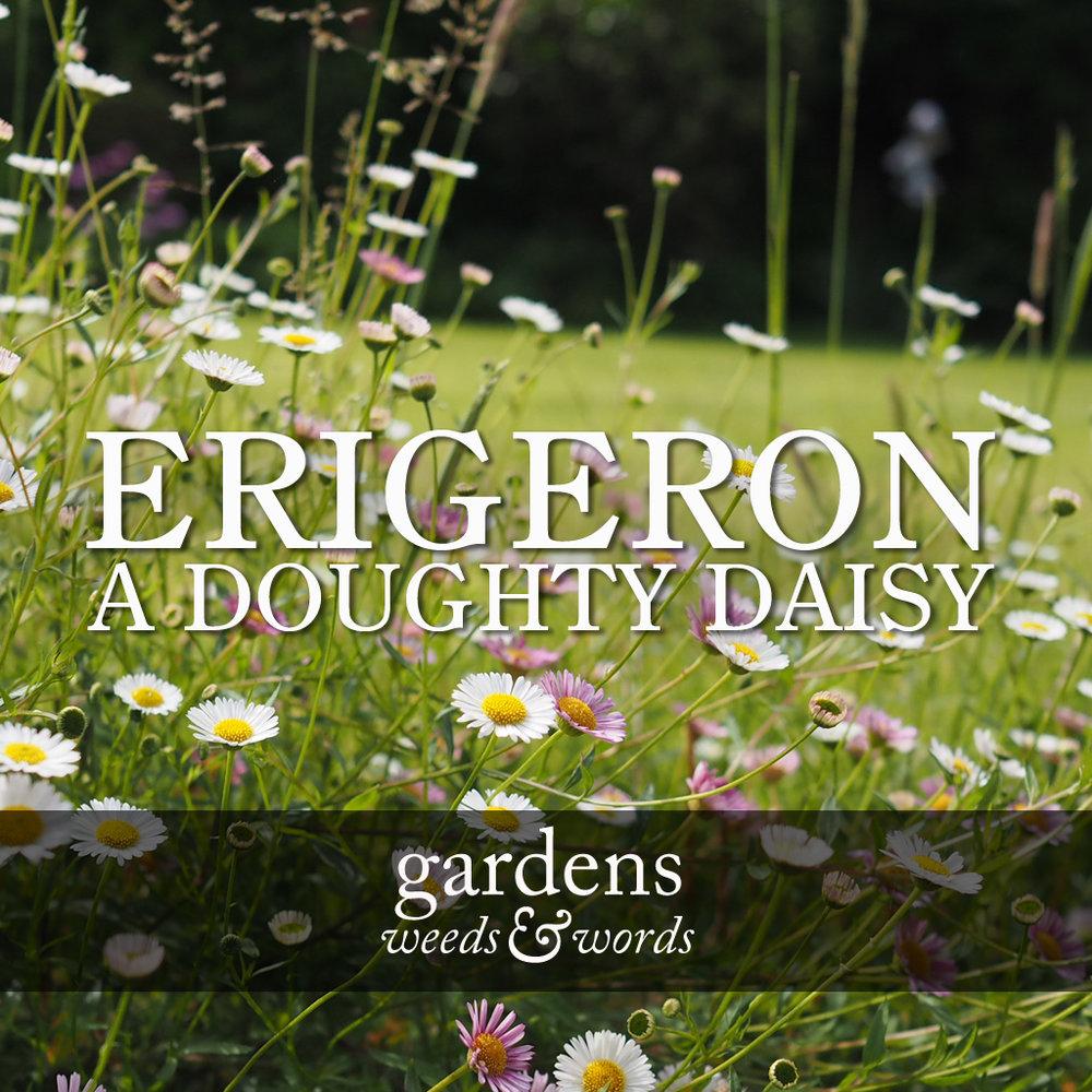 GWW_erigeron_header.jpg