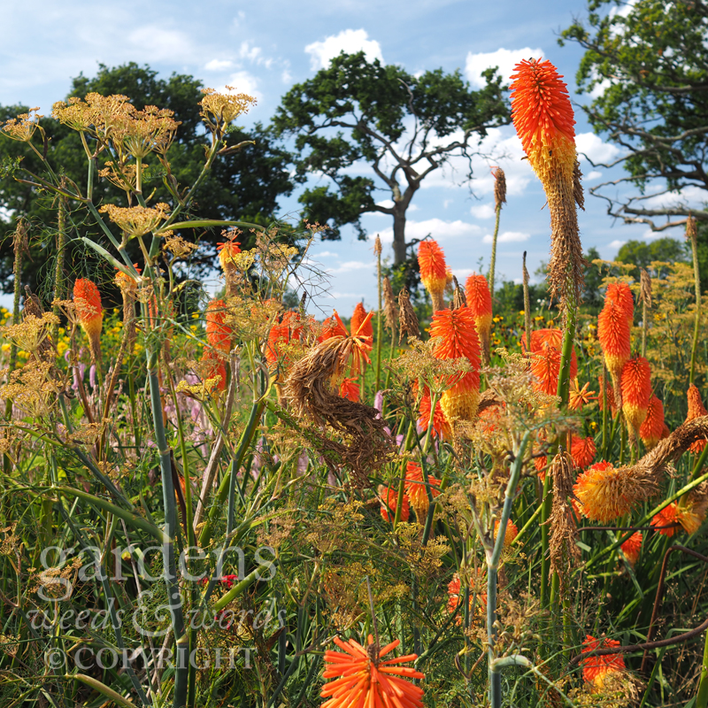 Red hot pokers on a scorching day