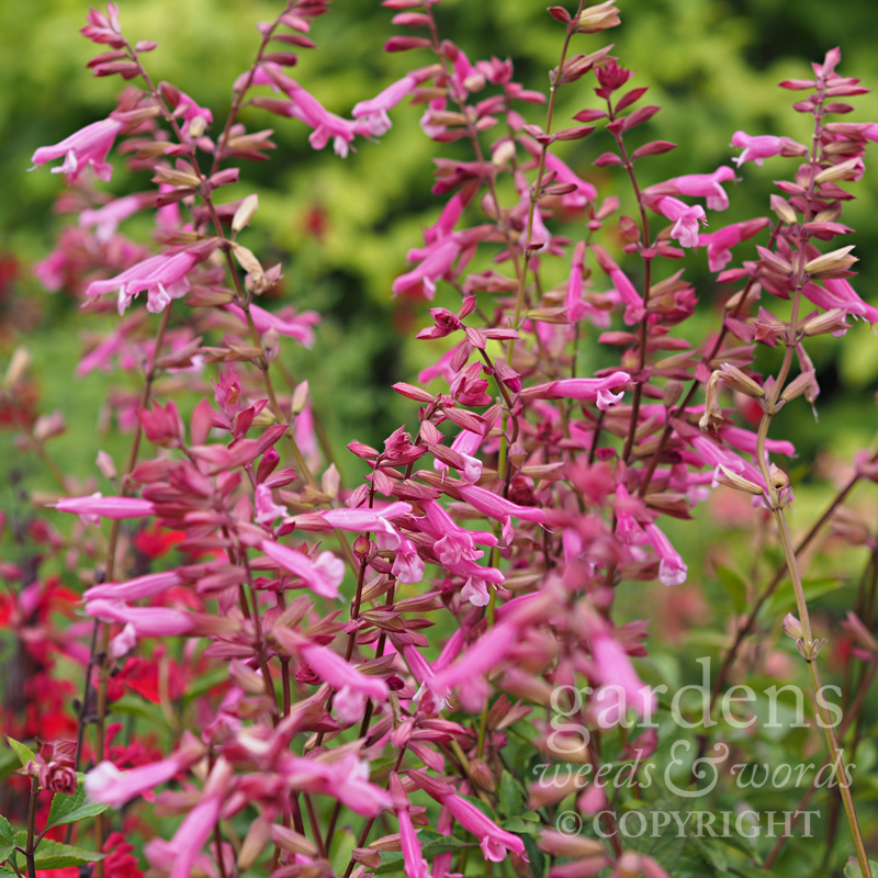 Salvia  'Kisses and Wishes'