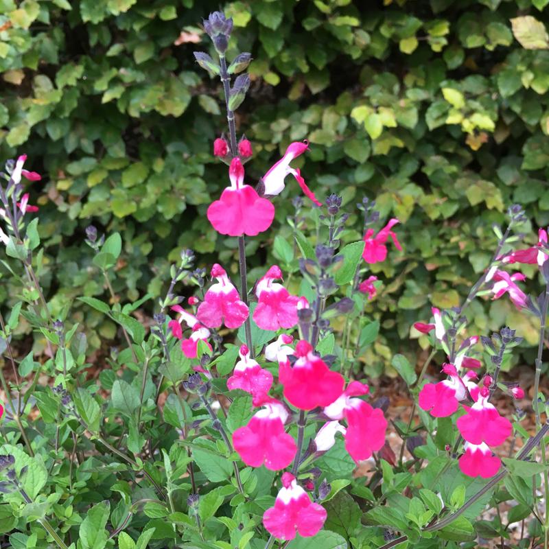 Salvia  'Pink Lips (Jeremy)'