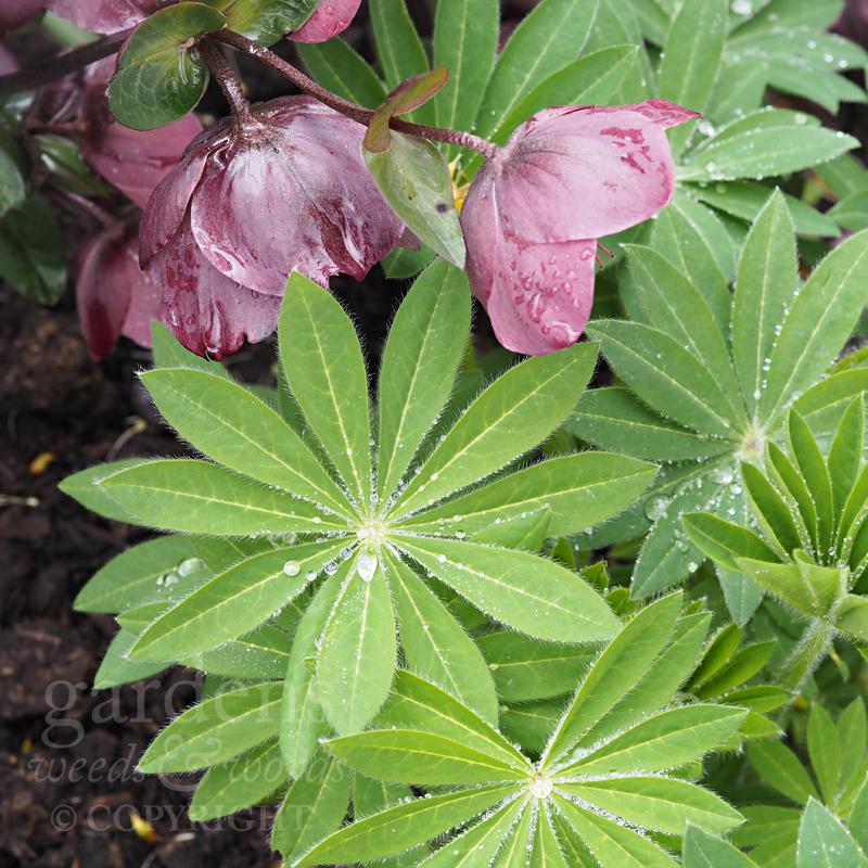 Lupin foliage with hellebore flowers and a smattering of early morning dew