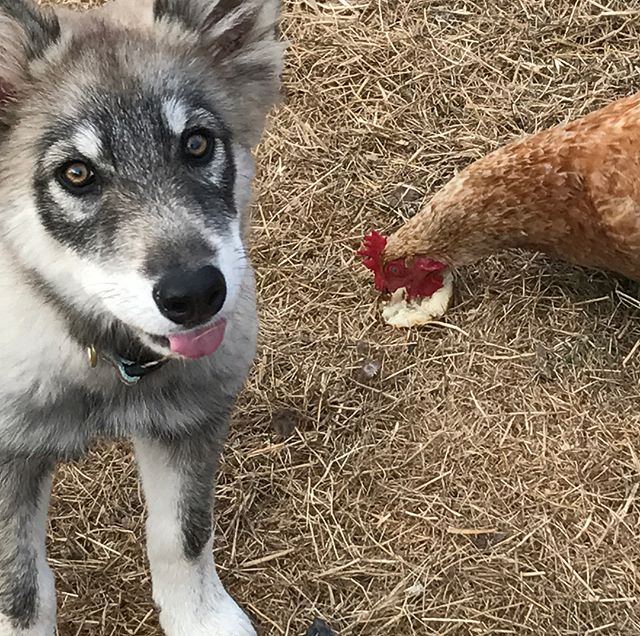 She loves the chickens & shares veggie scraps so nicely with them. 🐺➕🐓💗#cannabiscommunity #farmlife #wolfdogs #shineonforever