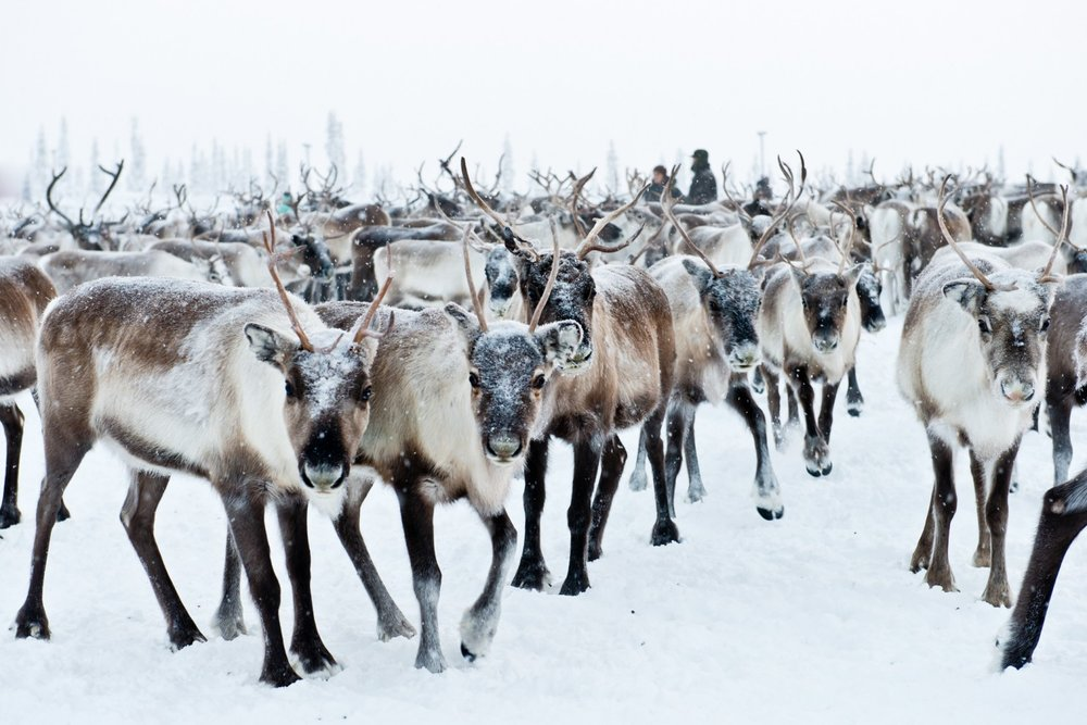 Reindeer have been herded for centuries by the Sámi.                                         Image source