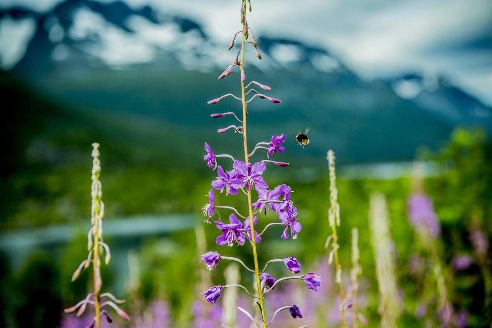 Blomster-i-Innerdalen-082018-99-1381_1500.jpg