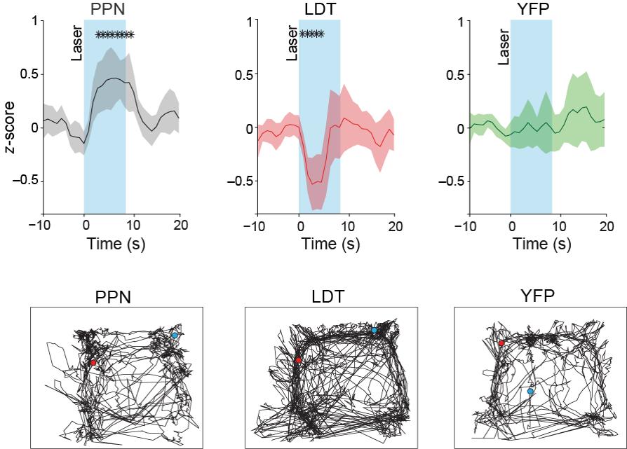 Locomotor activity following optogenetic stimulation of the cholinergic brainstem.