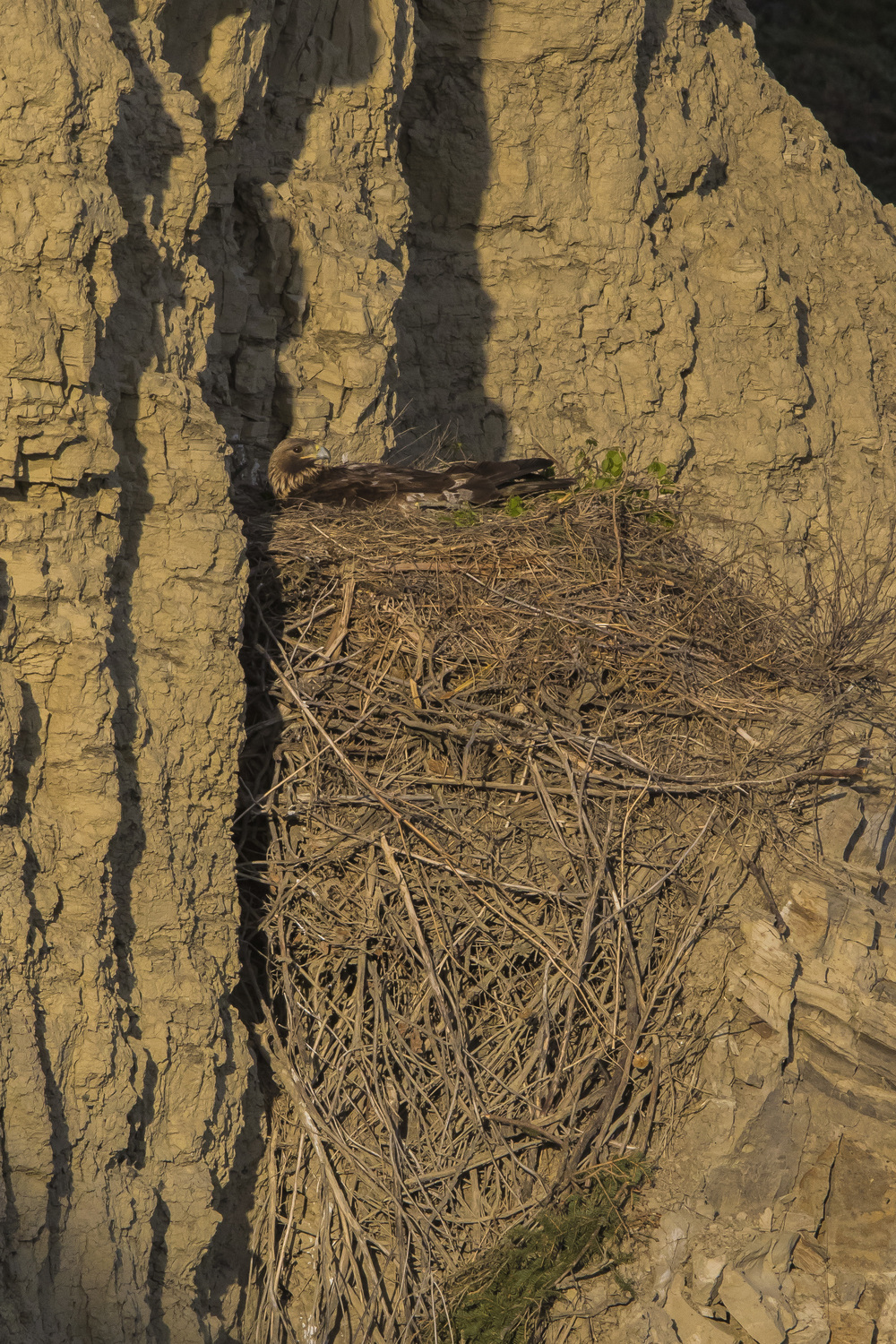 Female golden eagle incubating on the cliff nest. Female golden eagles will incubate for approximately 45 days while the male delivers prey. Early May 2015.