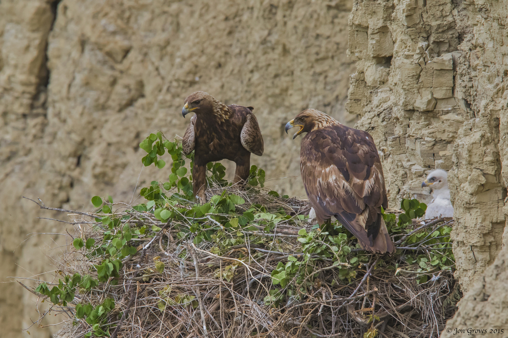 Pair of golden eagles on the nest. Green vegetation is brought in frequently and is thought to reduce the parasite load in the nest and serve to show that the territory is occupied to competitors passing through the area.