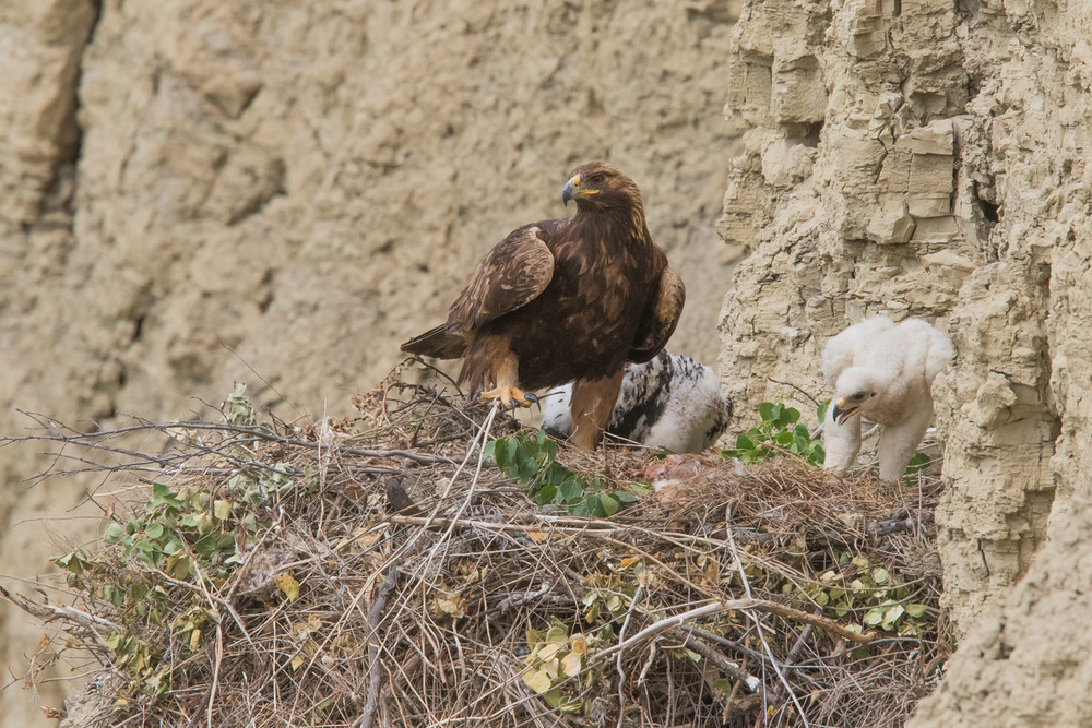 Adult female golden eagle with two eaglets on the nest. The younger but larger female eaglet showing far less feather development than the older male in the background.