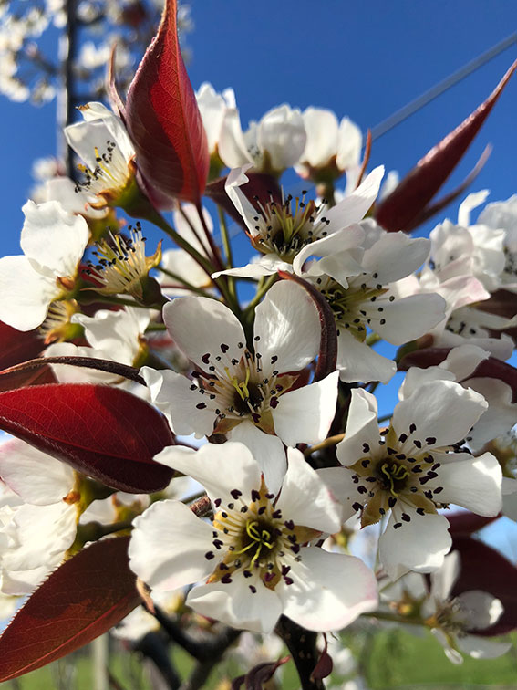 Blossoming on our orchards -