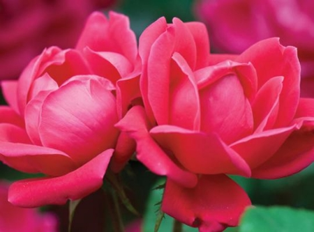 Double Knock Out rose - Star Roses/Conard-Pyle