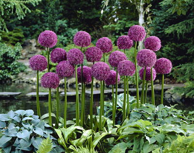 'Globemaster' Longfield Gardens