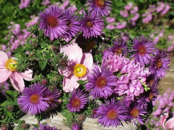 Autumn bouquet: Asters, Japanese anemones and obedient plant  -  vjs