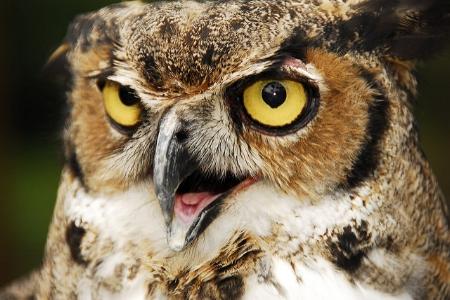 Great horned owl  Andrea Westmoreland/Flickr