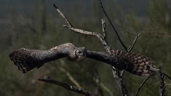 Great horned owl  Anne Reeves/Flickr