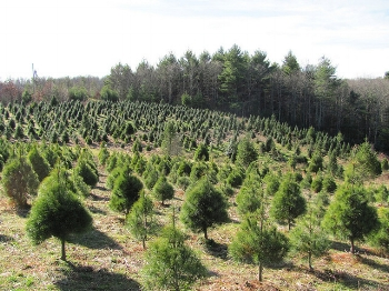Tree farm    Ed Kennedy/Flickr