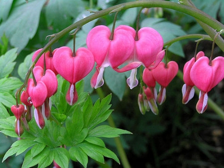Old-fashioned bleeding heart                 Greg/Flickr