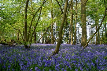 A bluebell woods     Jodi/Flickr