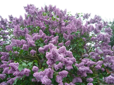 The ideal lilac                                              Brian Pettinger/Flickr