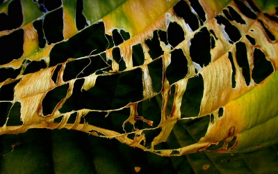 Slug damage on hosta leaf               scrappy annie/Flickr