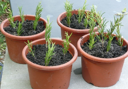 Propagating rosemary sprigs                               Cristina Sanvito/Flickr