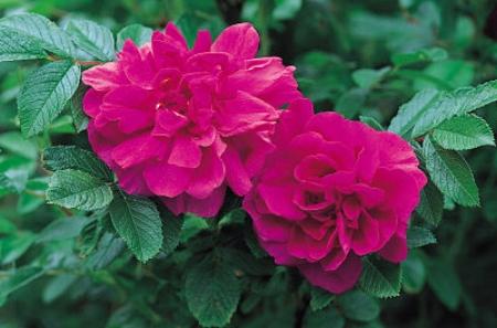 Rugosa rose 'Hansa'                     F.D. Richards/Flickr