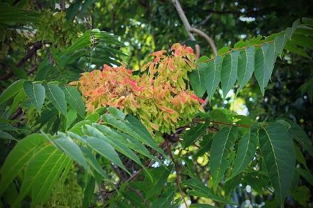 Ailanthus samaras                      Nicholas A. Tonelli/Flickr