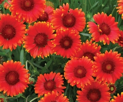 Gaillardia 'Red Sun'                                                  Terra Nova Nurseries