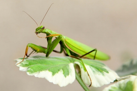 Praying mantis                       LadyDragonflyCC/Flickr