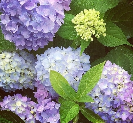 'Endless Summer' hydrangea                                  Michelle Oshen/Flickr