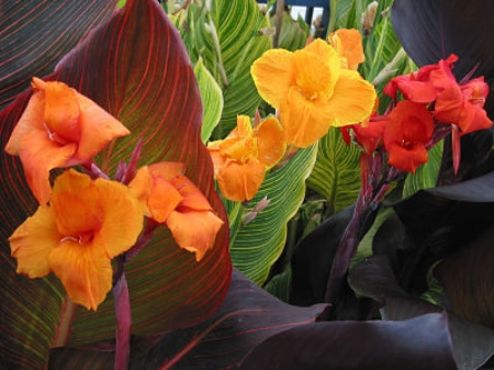 Cannas                                                                               Tesselaar Plants