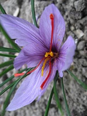 Saffron crocus             Line1/Wikimedia