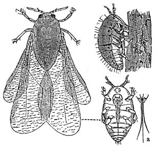 Phases of the phylloxera mite