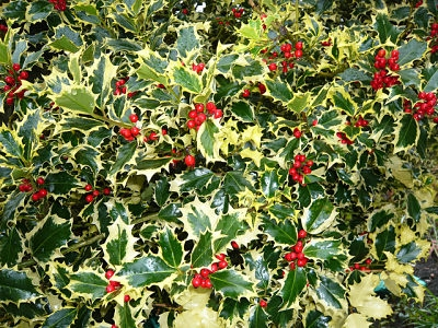 Variegated English holly                      Brian Pettinger/Flickr
