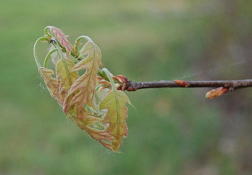 Oak leaves emerging.                                                                    Eli Sagor/Flickr