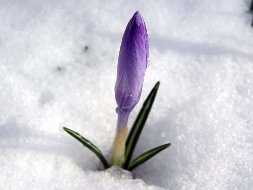 Crocus emerging.                                                            Ineke Heesterbeek/Flickr