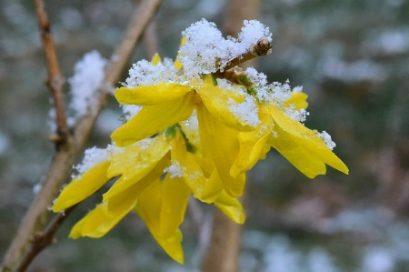 Forsythia under snow.                                               sigckgc/Flickr