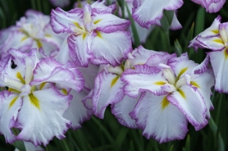 Japanese irises                        Zengame/Flickr