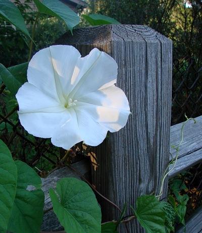 Moonflower                       Karen Dorsett/Flickr
