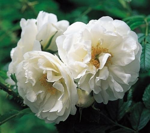 Rugosa rose 'Schneezwerg'                       David Austin Roses