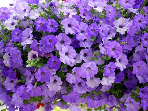 Petunias, profuse in bloom                                             the justified sinner/Flickr