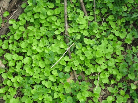 Garlic mustard, first year rosettes              Kerry Wixted/Flickr