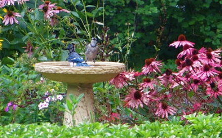 Bluejays enjoying a bird bath.                               Rachel Kramer/Flickr