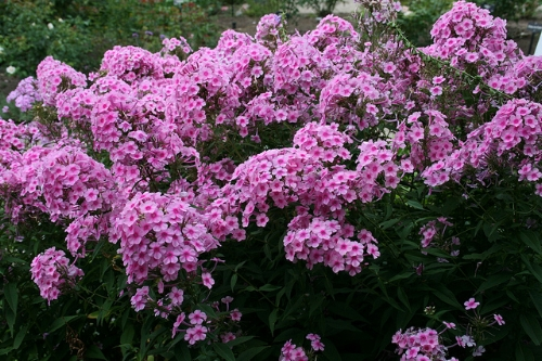 Phlox paniculata, the tall border kind.                            Patrick Standish/Flickr