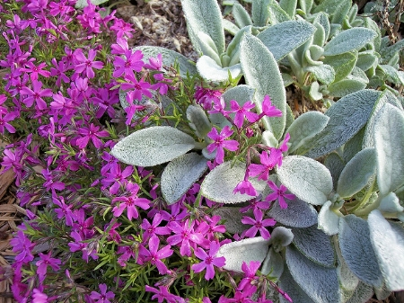 Phlox subulata (moss pinks) with lamb's ear.          littlesis43756/Flickr