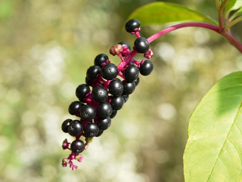 Pokeweed berries                                                                            IIona L/Flickr