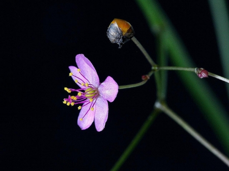 The flower and emerging seed case.            Mauricio Mercadante/Flickr