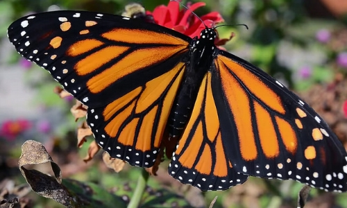 Monarch butterfly/USFWS Midwest