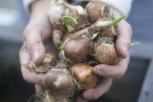 Fall is for bulb planting. — Proven Winners