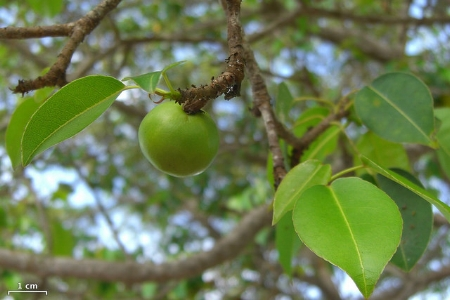 Fruit of the manchineel tree. — Jason Hollinger/Flickr